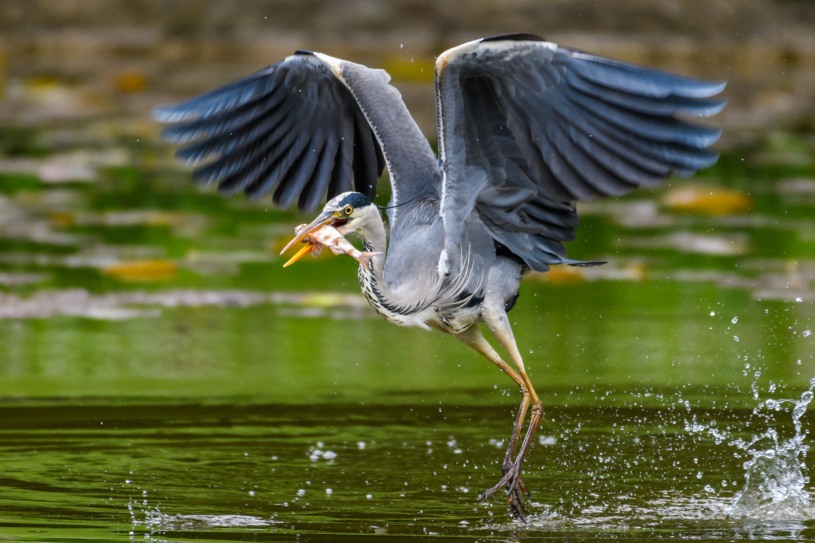 a heron having catched a fish